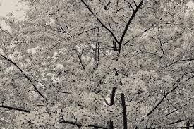 white cherry blossom black and white cherry blossoms photograph by ariane moshayedi
