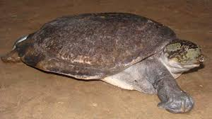 Ringed Map Turtle Indian Peacock Softshell Turtle Nilssonia Hurum Found In