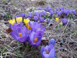 plant spring flowering bulbs before hard freeze by tom seymour