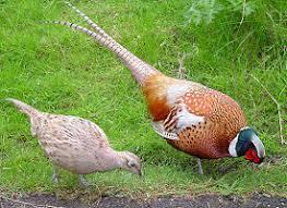 state bird of south dakota the official south dakota state bird the us50