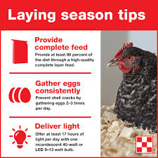 3 tips to help hens lay eggs that are fresh u0026 healthy