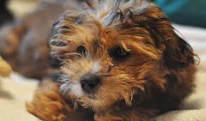 shi poo shihpoo dog breed information
