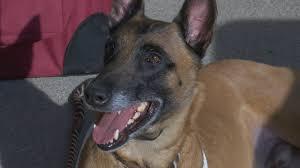 belgian shepherd kentucky lexington legends add a bat dog to their roster abc 36 news