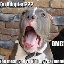 Cute Pet Memes - http www mypitbullshop com puppy pup pitbull pitbulls cute