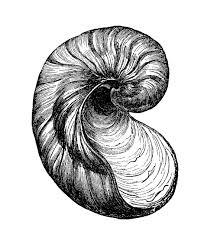 vintage clip art images seashells the graphics fairy