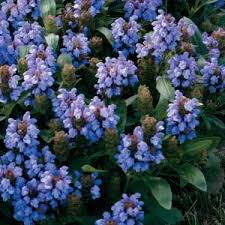 192 best i love blue flowers images on pinterest blue flowers