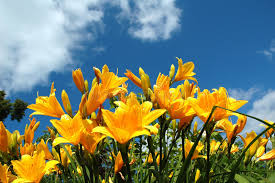 yellow lilies yellow lilies blue sky stock image image 3798371