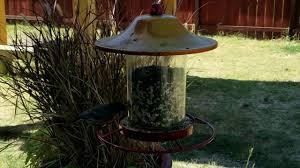wild birds at a backyard feeder youtube