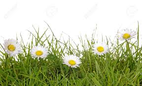 lawn daisy stock photos royalty free lawn daisy images and pictures