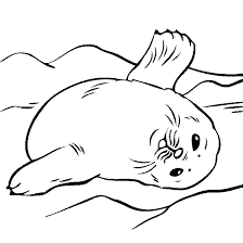 seal clipart coloring page pencil and in color seal clipart