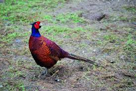is the pheasant the gamebird shooting uk