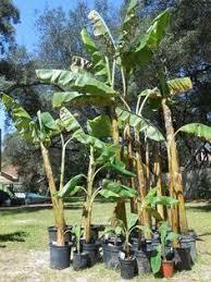 tropical fruiting banana plants grow your own backyard bananas