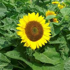 heirloom sunflower seeds on sale now by the packet or in bulk