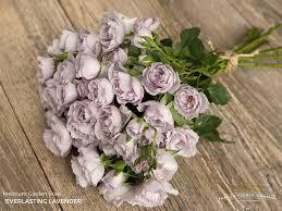 lavender roses garden everlasting lavender