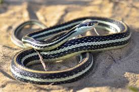 western ribbon snake thamnophis proximus reptiles and