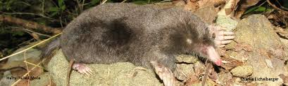 Moles Blind Pennsylvania Mammal Atlas Hairy Tailed Mole
