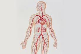 Heart Wall Anatomy Artery Structure Function And Disease
