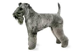 affenpinscher qualities kerry blue terrier dog breed information pictures