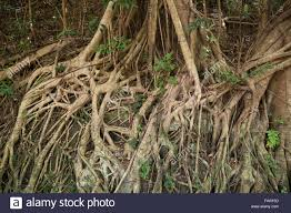 roots of an indian rubber tree ficus elastica also called the
