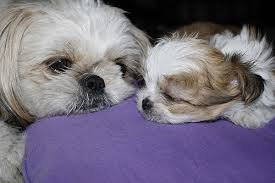 pictures of shorkie dogs with long hair information about dogs shorkie puppy information