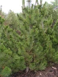 pine bosnian creekside tree nursery