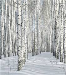 sunset through the silver birch pinteres