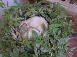 ceropegia geniculata plants pinterest plants