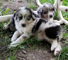 mini australian shepherd 7 weeks blue merle mini aussie puppy stonger miniature and standard aussies