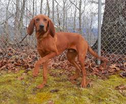bluetick coonhound vs redbone coonhound the 17 best images about puppies on pinterest