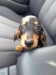 Puppy Dog Eyes Meme - 11 unbelievably tiny puppies you ll want to put in your pocket