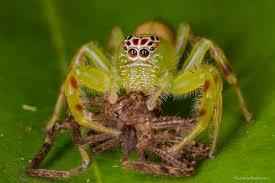 Male Spider Anatomy Female Green Jumping Spider 3 Jpg 1280 853 Cute Pinterest