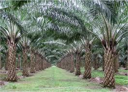 Minyak Kelapa Sawit Terkini tanaman belum menghasilkan perkebunan kelapa sawit