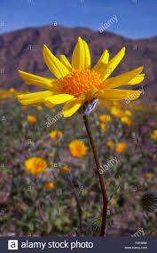 usa california anza borrego desert state park desert sunflower