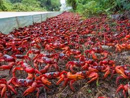 the christmas island miracle the migration of the bright red crab