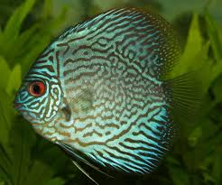 Buy Ornamental Fish Best Freshwater Aquarium Fish