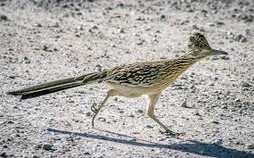 county u0027s roadrunners zip along from coast to desert the san