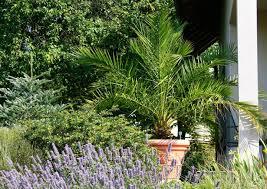 palme f r balkon kann ich meine palme yucca draussen überwintern pflanzen