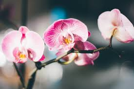 close up photography of a pink and white moth orchid free stock