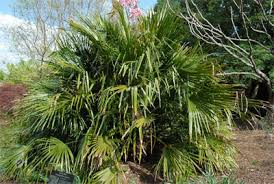 Palm Trees Fruit - how to identify palm trees