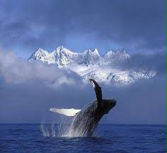Whale Best 25 Whale Pictures Ideas On Pinterest Blue Whale Bryde U0027s