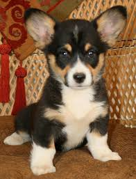 noble hearts pembroke welsh corgi breeder puppies sale