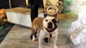 English Bulldog Halloween Costumes Trick Treat Halloween Costume Trends Kids Dog