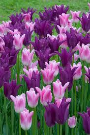 best 25 bulbs for sale ideas on flower bulbs for sale