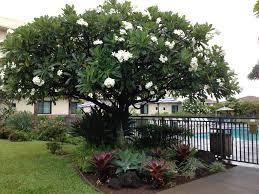 plumeria tree hawaii pinterest plumeria tree gardens and