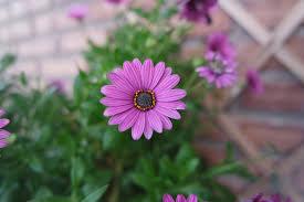 free images nature purple petal flora flowers close up