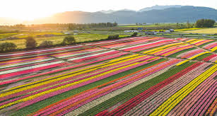 skagit valley tulip festival bloom map home abbotsford bloom tulip festival 2017