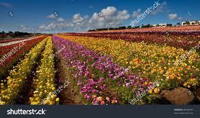 carlsbad flower garden carlsbad california flower fields stock photo 95490163 shutterstock