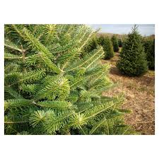 canaan fir 3 potted plants in 2 5