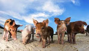 did tourists kill these pigs on notorious u0027pig beach u0027 peta