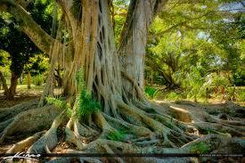 banyan tree banyan tree edison home winter estates fort myers